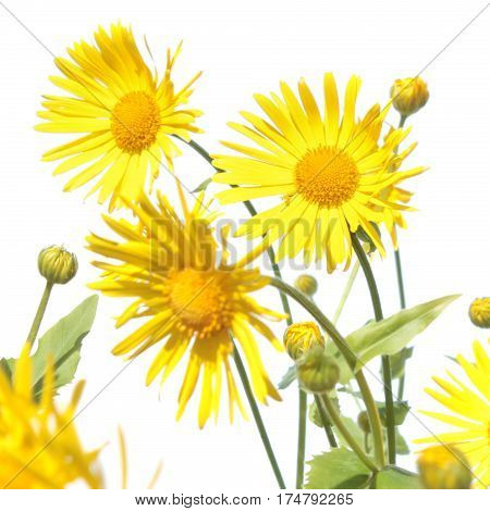 Leopard's banes (Doronicum) yellow flower isolated on white background