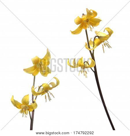 Yellow Tuolumne fawn lily (Еrythronium tuolumnense) flower isolated on white background