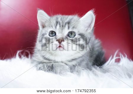 cute kitten on a red background. kitten portrait