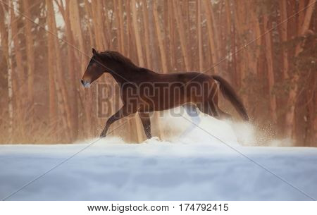 Bay horse galloping on snow on forest background