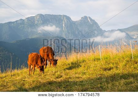 Red cows on the alpine meadow in sunrise light High Tatra Poland
