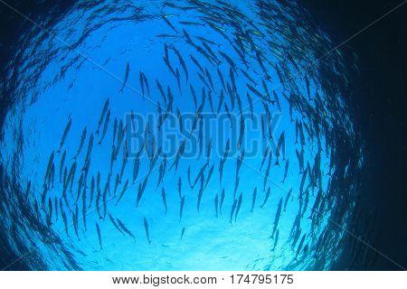School of Barracuda fish