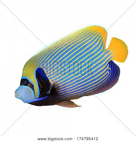 Emperor Angelfish reef fish isolated on white background