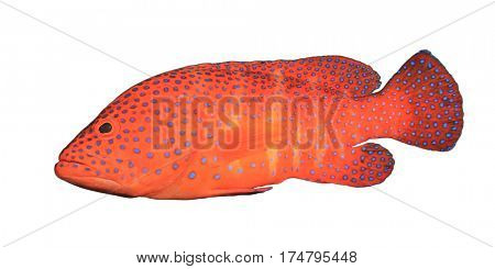 Live red Grouper fish isolated on white background