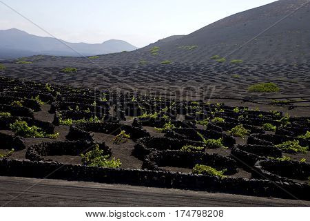 Wall Grapes Cultivation