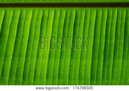 Banana green leaf with texture and pattern of nature