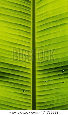 Banana leaf with texture and pattern of nature