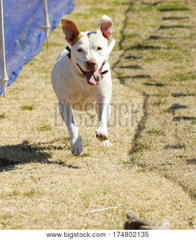 Ears flying, a happy pitbull terrier on a lure course