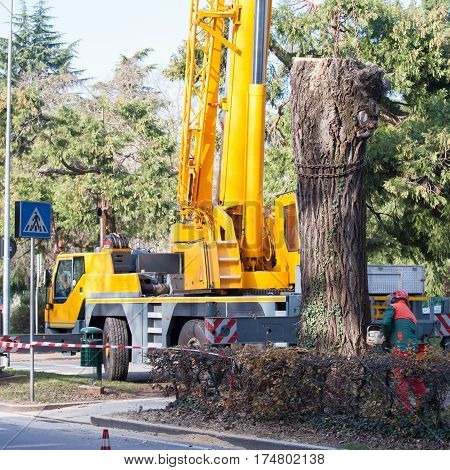 Cutting a large tree in a city. Maintenance of green citizen.