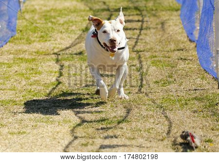Happy pitbull terrier chasing a lure at the park