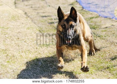 Belgian Malinois dog about to catch the lure at the park