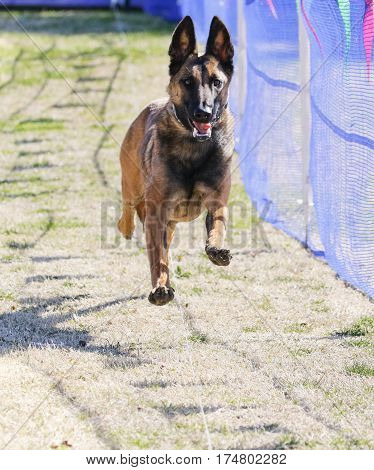Happy Belgian Malinois on a lure course