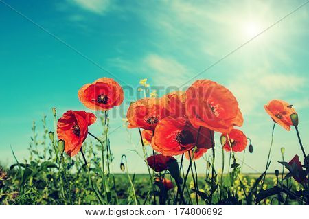 picturesque scene close up of fresh red flowers poppy on the green field in the sunlight. on the perfect blue sky background. majestic rural landscape. Retro and vintage style Instagram toning effect.