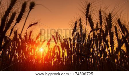 majestic golden sunset over wheat field. picturesque scene. Fantastic morning landskape. colorful sunset. Beauty world. Natural background. creative nature images used as background