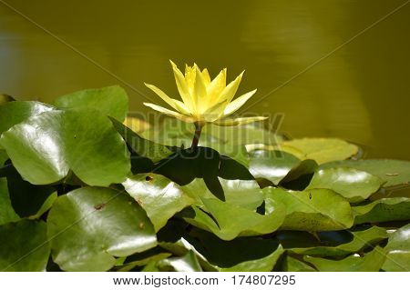A waterlily Latin name Nymphaea yellow Lotus