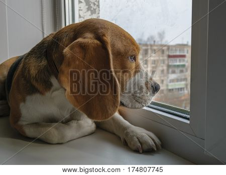 Beagle dog lying on a window sill and looking out the window