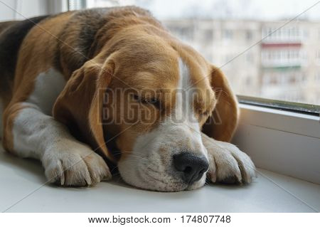 dog Beagle sleeping on the windowsill in the apartment