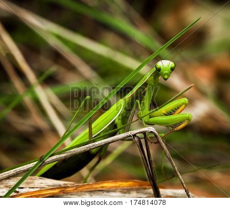 Green mantis crawling on a branch and looks in the frame. Close-up. Macro photo of nature and insects. Mantis religiosa