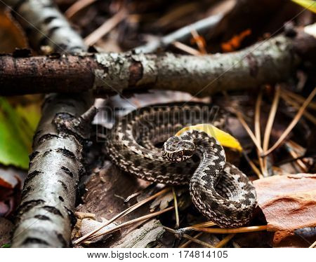 European adder Vipera berus pattern. Italian meadow viper Vipera ursinii ursinii Viper snake with gray coloring on the leaves in the forest. Macro photo