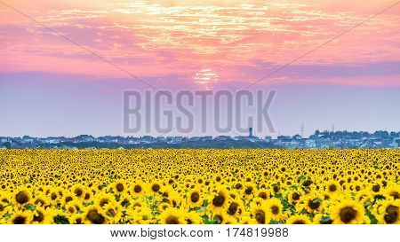 Sun dawn over the rural plain with blossoming field of sunflowers. Solar disk at sunset with low clouds. Evening rural landscape.