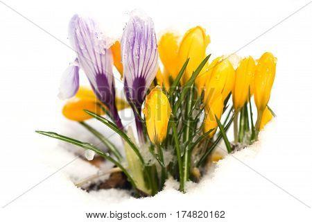 Der Frühling kommt und die ersten Krokusse brechen durch den Schnee