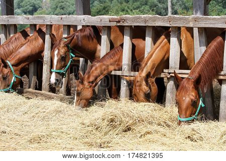 Foals and mares feed on the farm