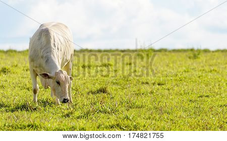 Cow Feeding On Farm Pasture