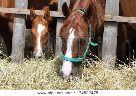 Hungry young saddle horses eating hay on the farm. Chestnut mares and foals eating hay on the ranch