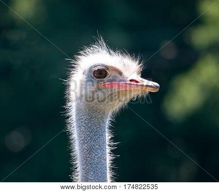 Ostrich face closeup. Ostrich face portrait close-up