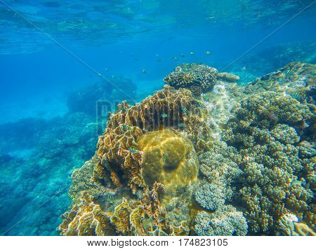 Underwater scene with coral reef. Big corals with small fishes. Aquarium fish in wild nature. Tropical seashore water species. Aquatic ecosystem with exotic animals. Snorkeling banner. Undersea photo