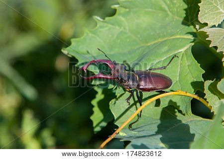 Male Stag Beetle. Natural background. stag beetle Lucanus cervus on oak on the branches of a willow