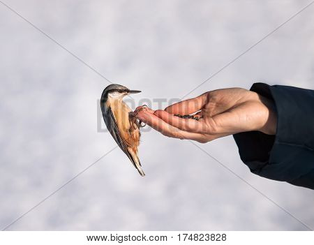 Handtamed wood nuthatch. Feeding of wild birds and animals in the winter