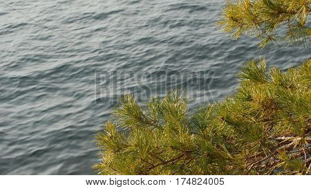 Pine branch sways in the wind against blue Lake Como surface, Italy.