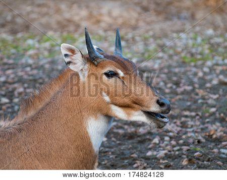 Nilgai antelope close-up. Antelope in the natural habitat