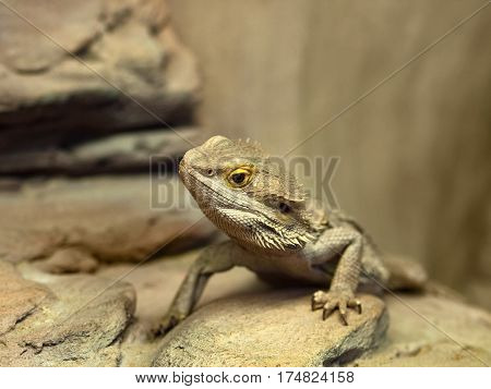 bearded dragon (agama lizard). Lizard in the natural habitat