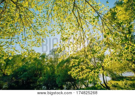 Spring Canopy Of Tree. Deciduous Forest, Summer Nature At Sunny Day. Upper Branches Of Tree With Fresh Green Foliage. Looking Up Woods. Greenery, Green: Pantone Color - Trend 2017