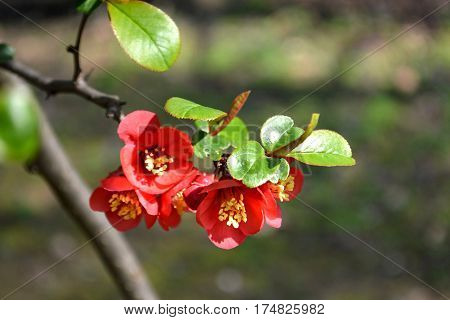 Close up of a branch of Japanese quince in blossom
