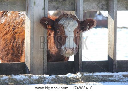 Cow looking out between the wooden struts of a feeding trough in a holding/transfer pen.