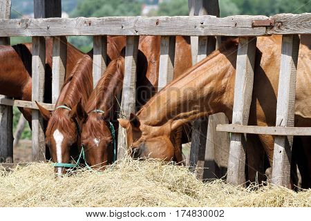 Foals and mares feed on the farm. Group of purebred horses eating hay on rural animal farm