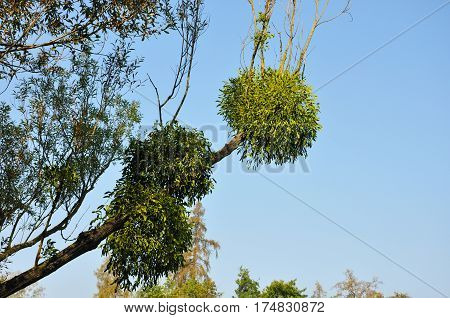 Mistletoe bunches balls on tree branch on blue sky background