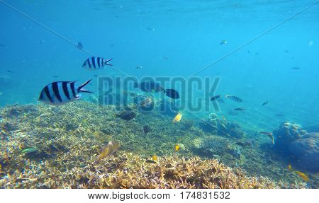 Underwater scene with colorful exotic fishes. Blue sea water above sharp corals. Snorkeling photo of sea bottom with corals and sea plants. Oceanic life ecosystem. Stripe dascillus or sergeant fishes