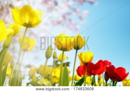 Tulip spring flowers and cherry blossom against a blue sky in the sunshine