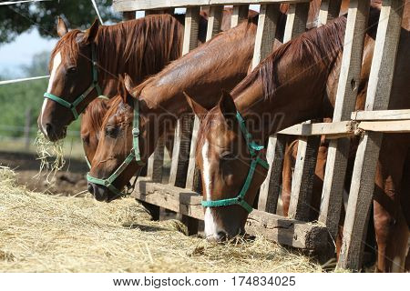 Chestnut mares and foals eating hay on the ranch. Foals and mares feed on the farm