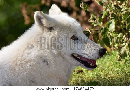 close up of head of arctic wolf