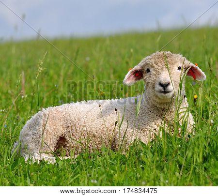 cute young lamb restin in a grass