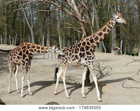 girafe with young one in zoological garden