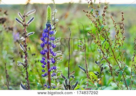 Purple Lupine flowers in green grass macro close-up photo.