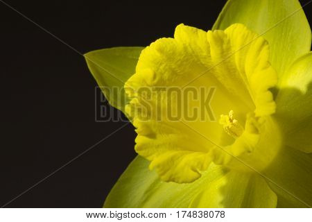 Close up image of a yellow daffodil