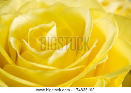 Close up image of a yellow rose