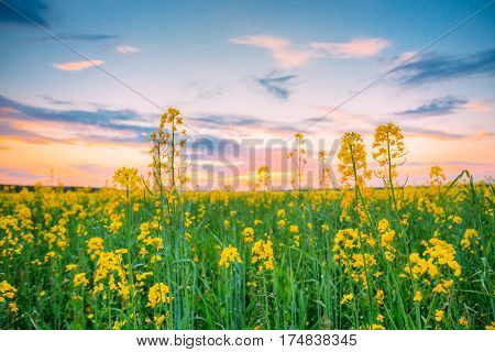 Sunset Sunrise Sky Over Spring Flowering Canola, Rape, Rapeseed, Oilseed Field Meadow Grass. Close Up Of Blossom Of Canola Yellow Flowers Under Dramatic Dawn Sky